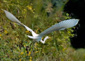 HerbLord_GreatEgret_sm