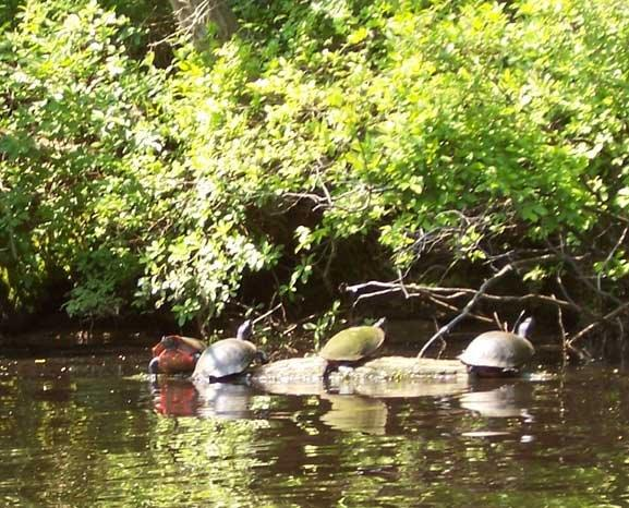 Turtles sunning on the bank of the D&R Canal Feeder