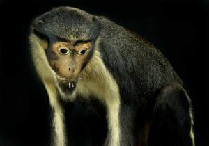 Diana Monkey (Ceropithecus, Diana)