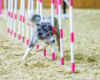 Dog agility training by Hounds of Heck