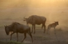 Wildebeest Migration, Serengeti, Tanzania - Joan Lasota